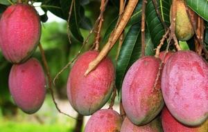 Mangoboom Kweekset