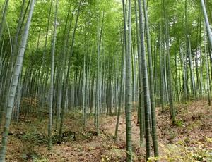Reuze Bamboe Kweekset