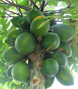 Papaya Kweekset