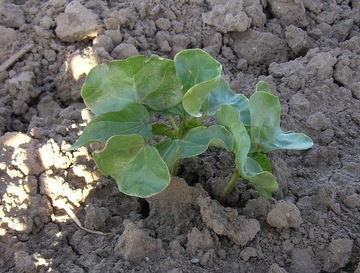 Katoenplant kweken