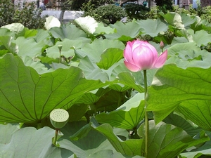 Heilige Lotus Kweekset