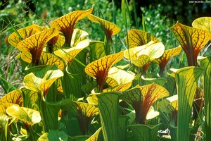 Trompetbekerplant Kweekset