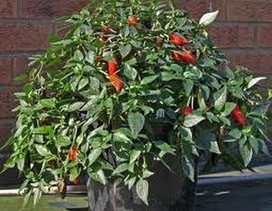 Red HOT Chili Peper Kweekset